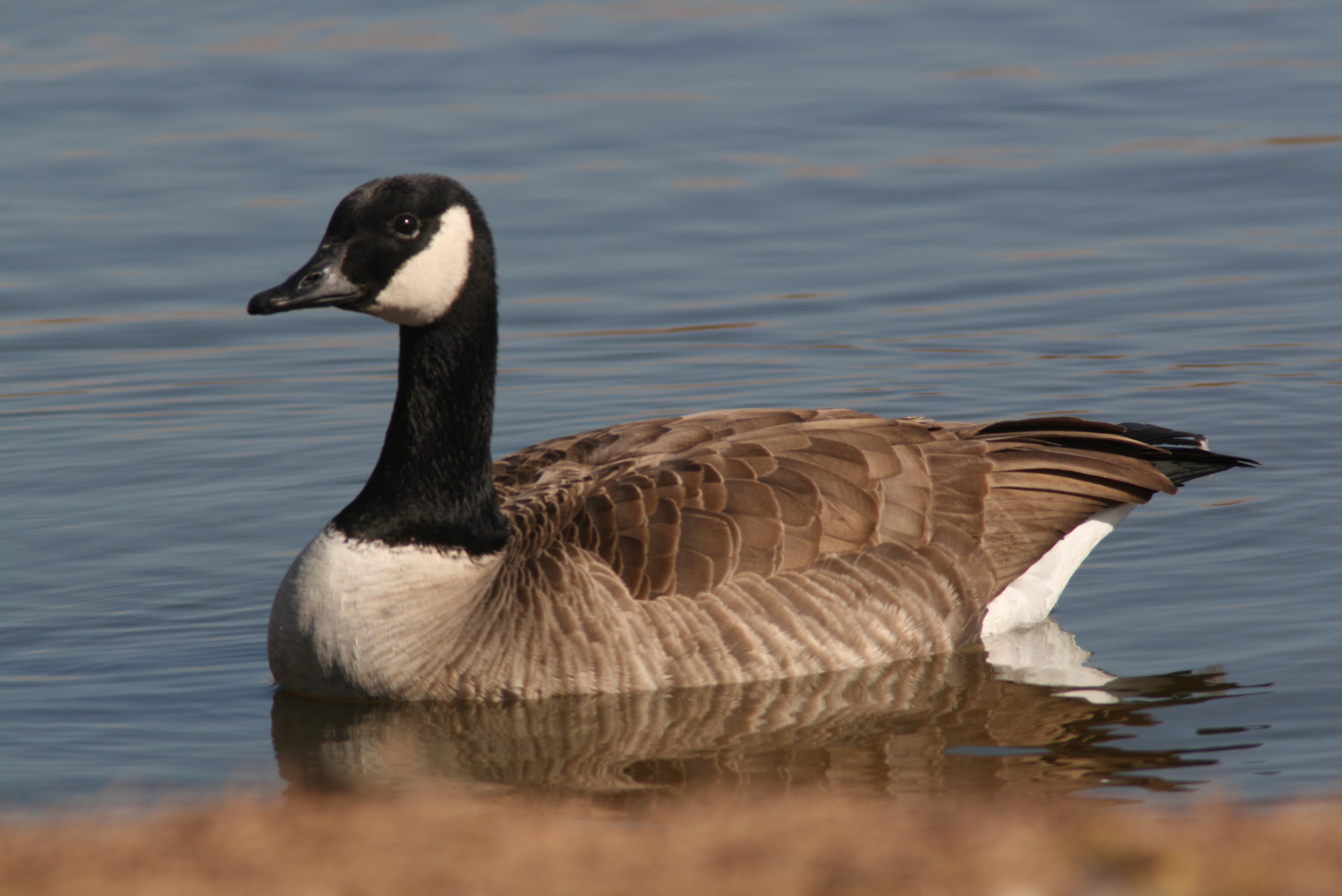 Canada Goose Bird On The Water - HD Wallpaper