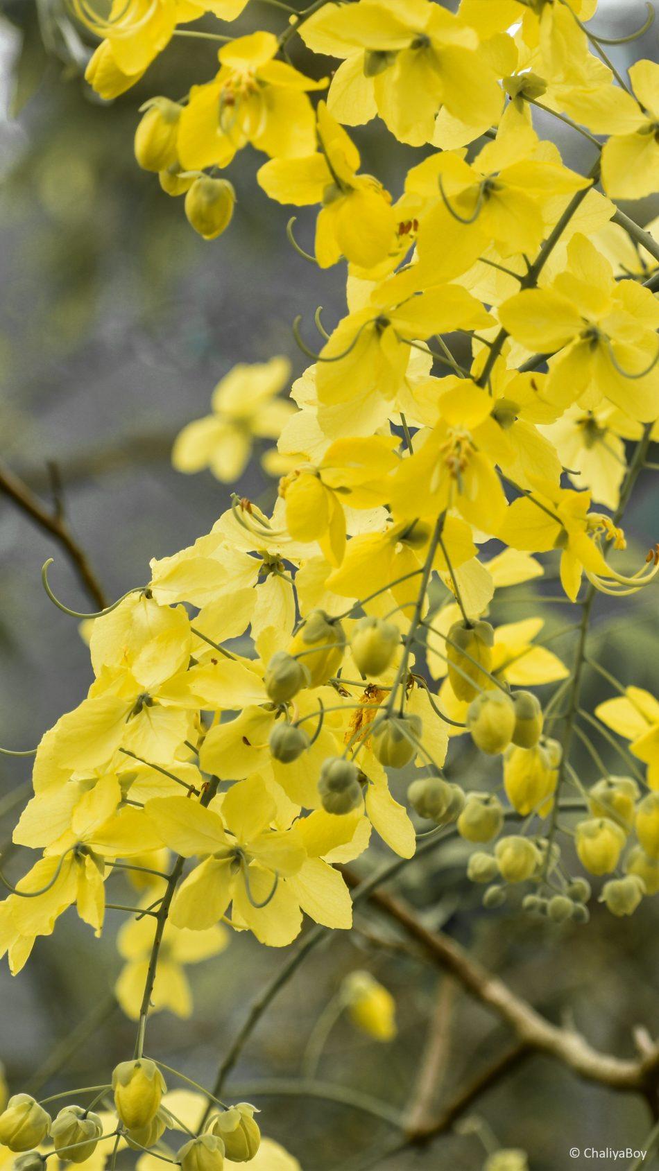 Yellow Golden Shower Flowers 4k Ultra Hd Mobile Wallpaper - Yellow Flower Wallpaper Hd For Mobile - HD Wallpaper
