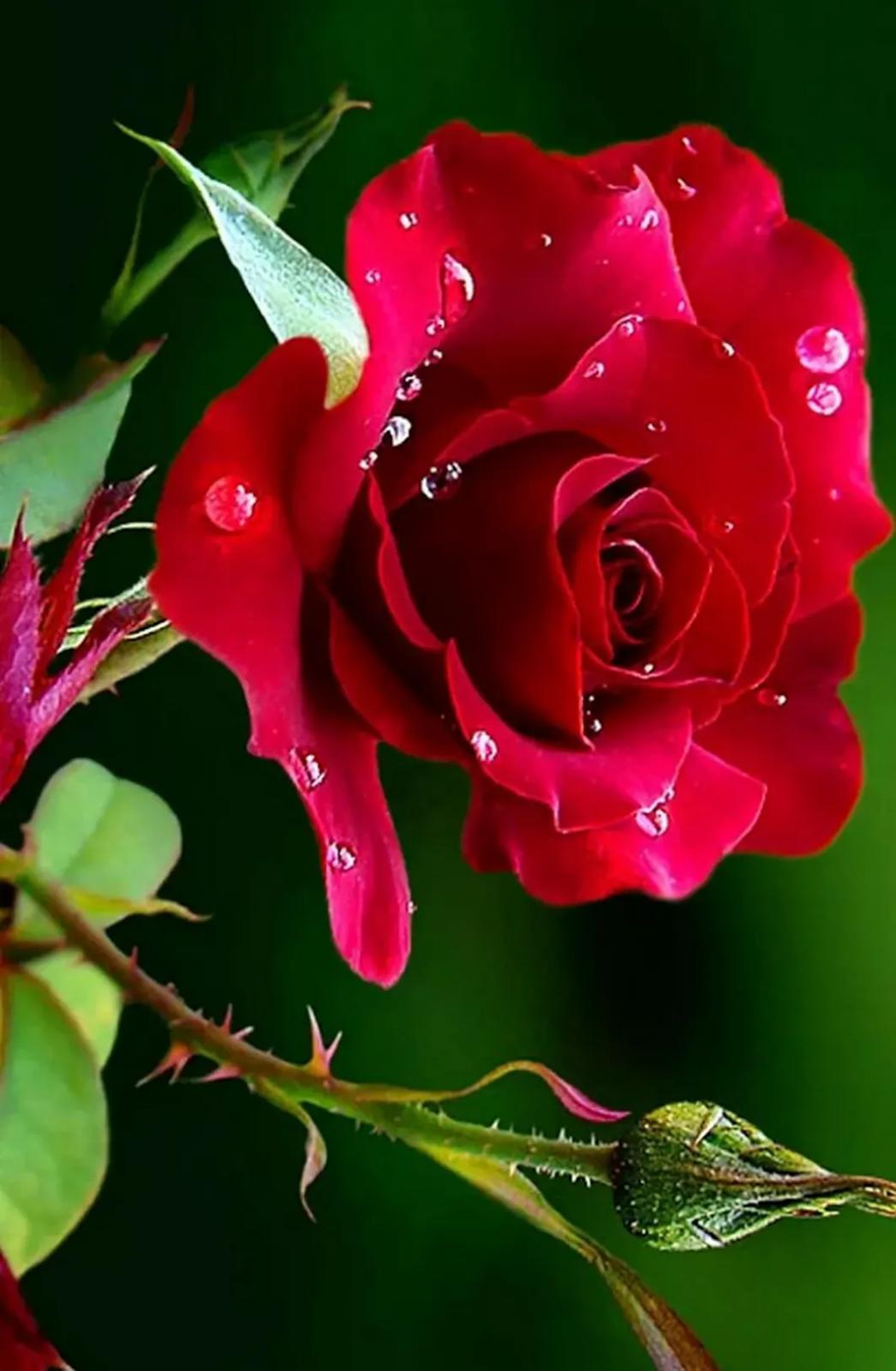 Gambar Bunga Mawar اجمل ورد في العالم 1046x1600 Wallpaper Teahub Io