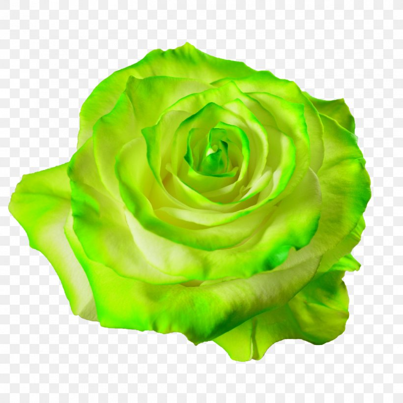 Garden Roses Cabbage Rose Flower Petal Desktop Wallpaper, - Green Aesthetic Transparent Background - HD Wallpaper
