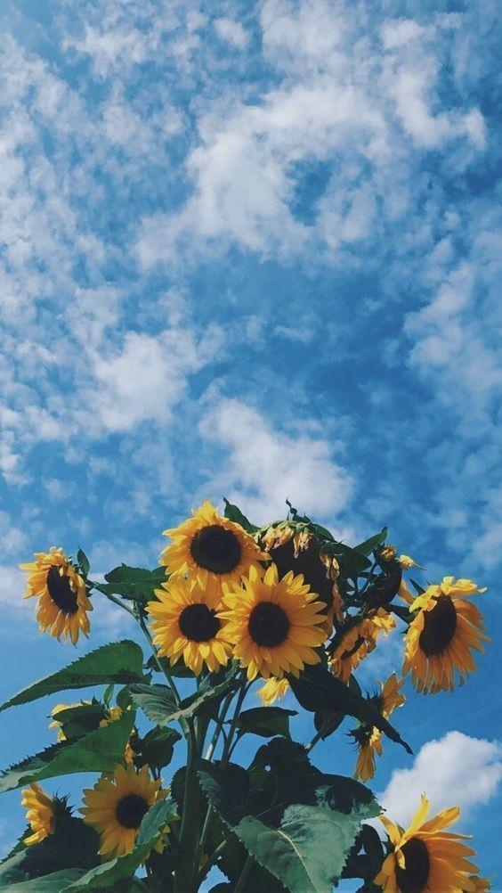 Iphone Wallpaper Sunflower 564x1002 Wallpaper Teahub Io
