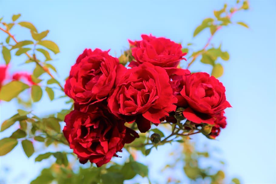 Roses Red Nature Plant Love Beautiful Romantic Love Beautiful Images Of Nature 910x607 Wallpaper Teahub Io