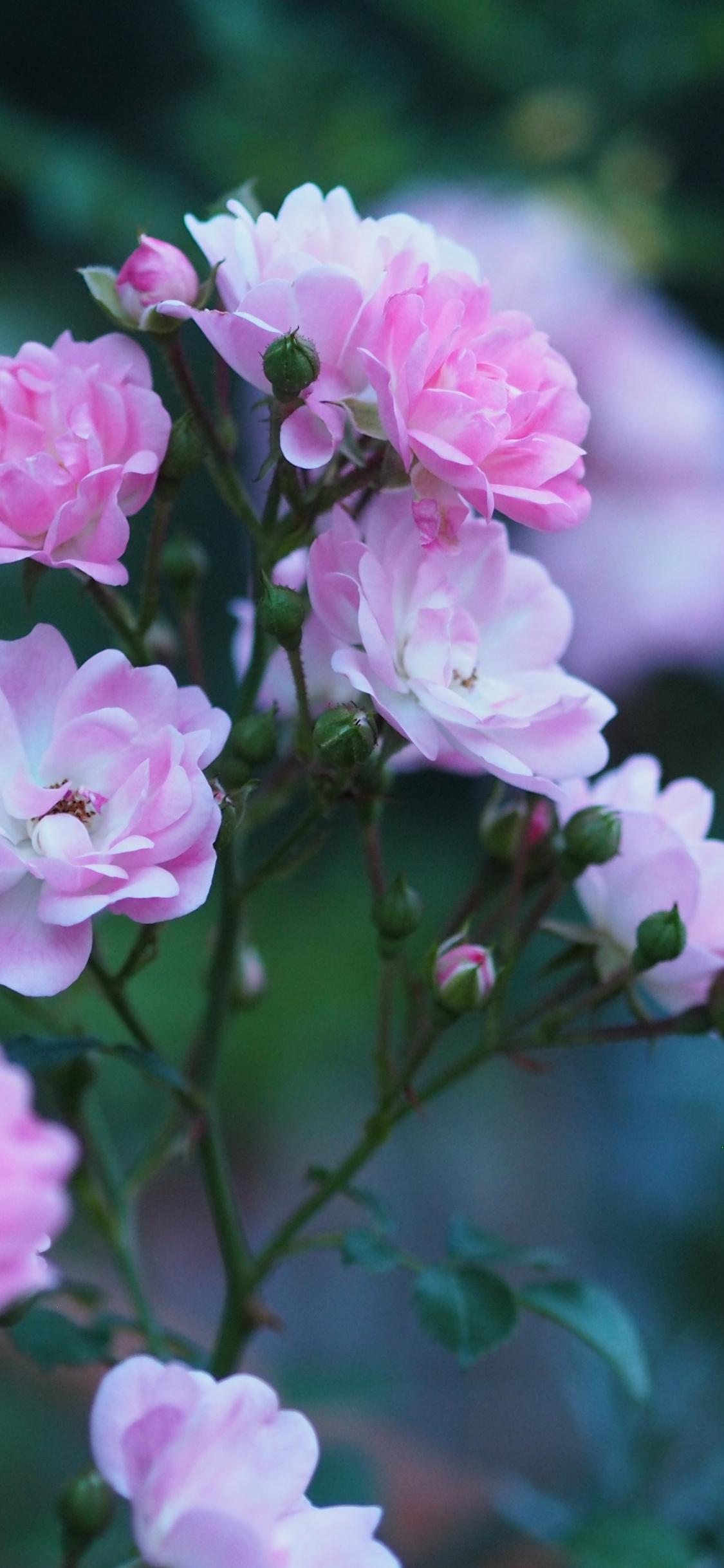 Roses, Flowers, Blossom, Pink Flower, Wallpaper - Iphone Wallpaper Rose Flower - HD Wallpaper