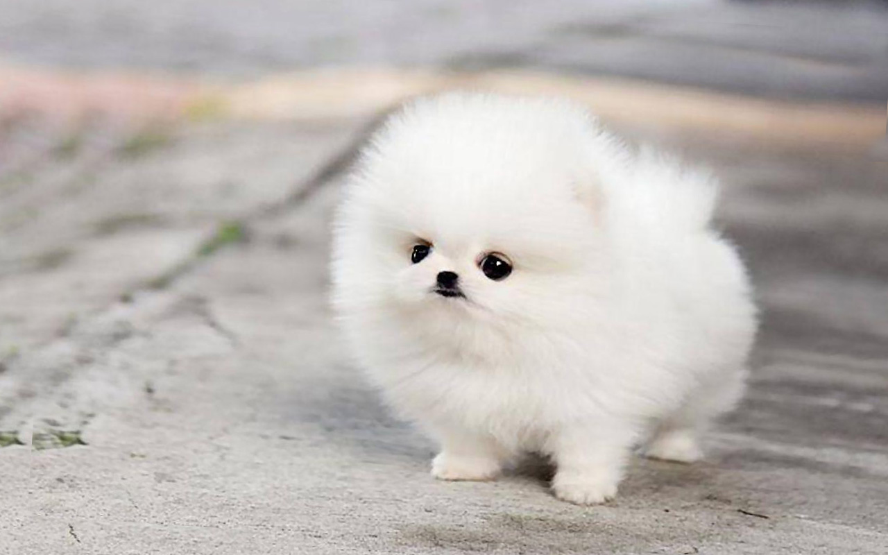 Wallpaper Husky Wallpaper 138c Pomeranian Cute Husky Puppies 1280x800 Wallpaper Teahub Io
