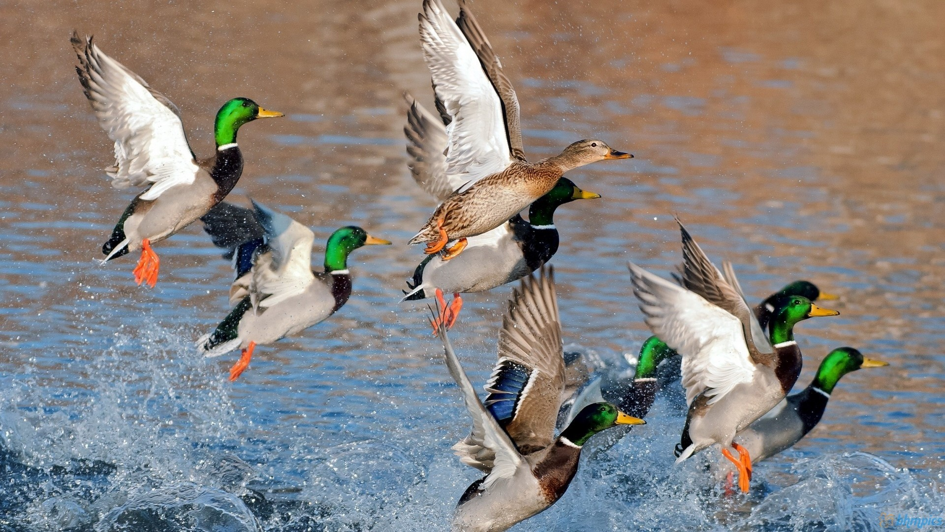 Duck Hunting Wallpaper   Data Src Large Duck Hunting - Best Duck - HD Wallpaper