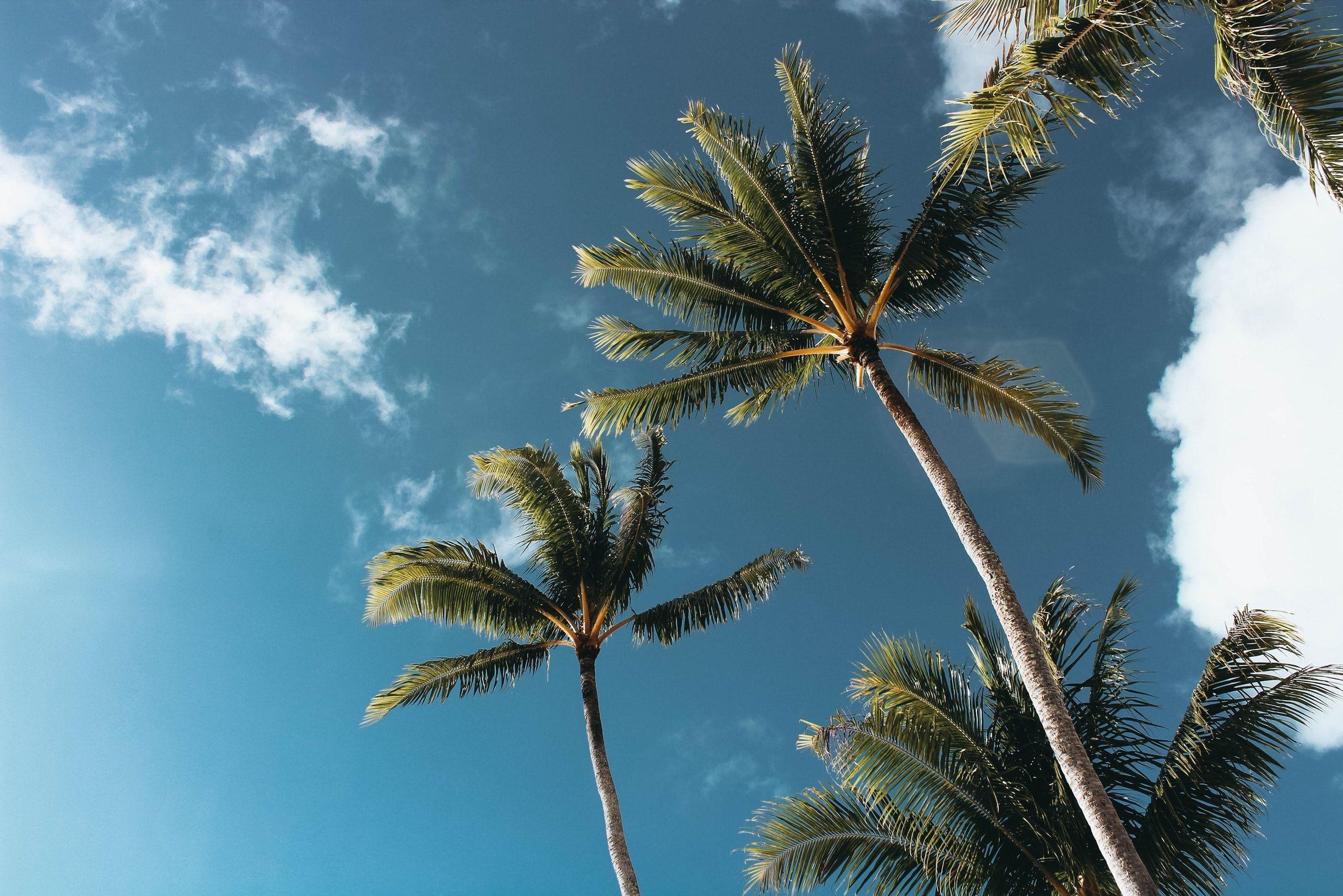 Daytime View Of California Palm Tree Wallpaper - Palm Trees Wallpaper Hd - HD Wallpaper