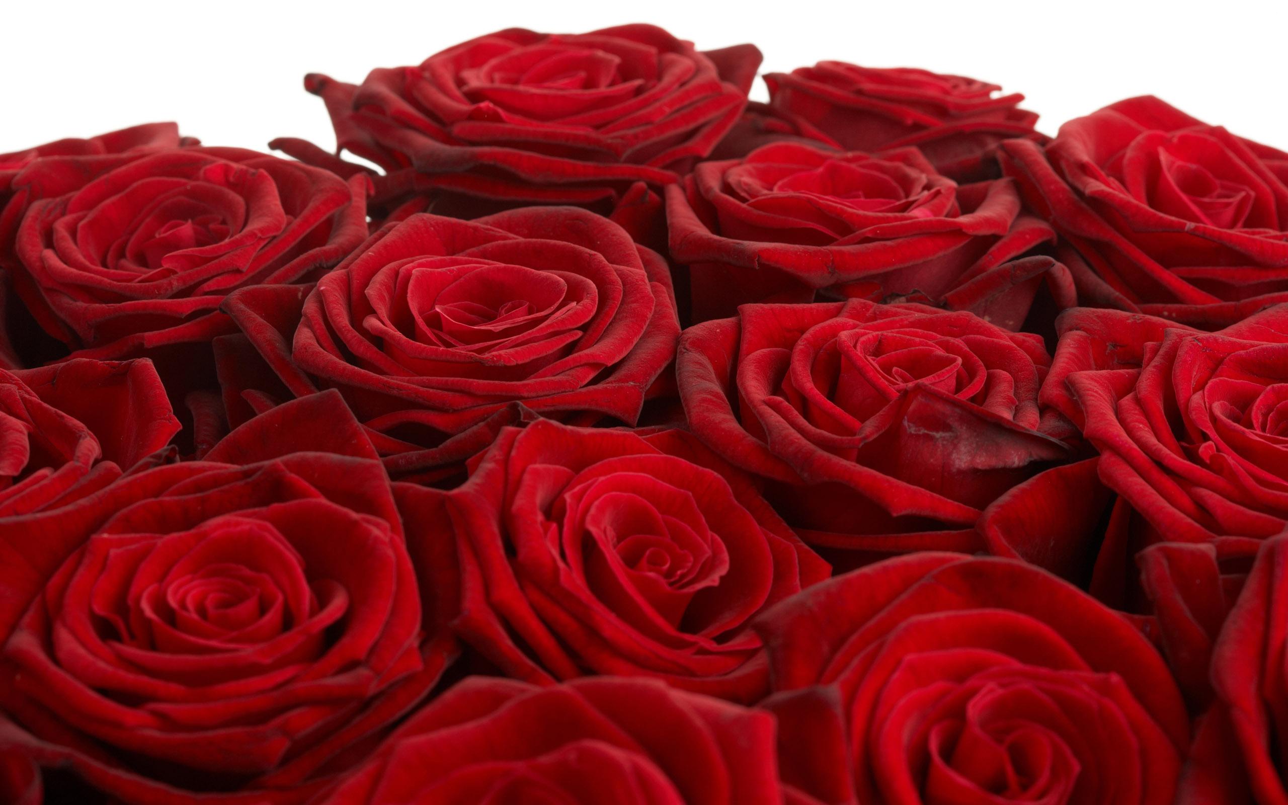 Beautiful Rose Flower Images Photo - Beautiful Rose Flower Wallpaper Download - HD Wallpaper
