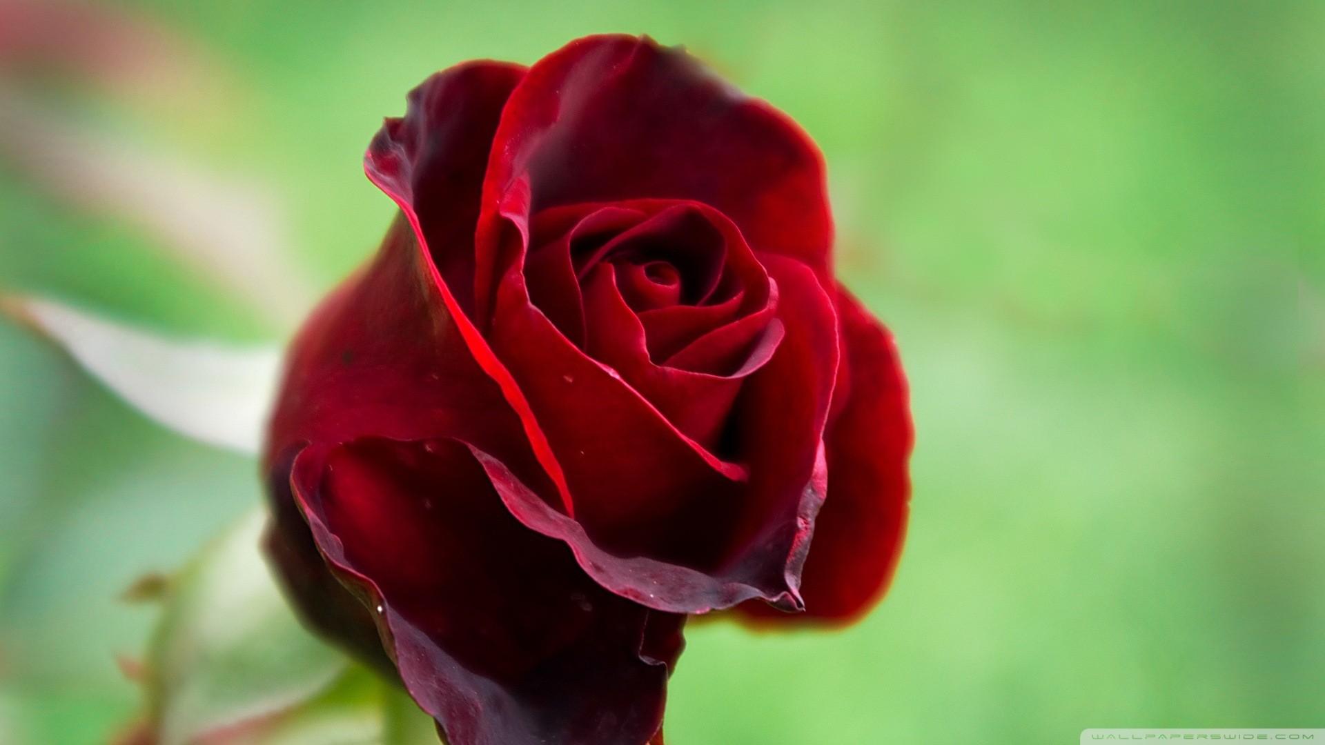 Beautiful Rose Wallpapers Hd Wallpapersafari   Data - Beautiful Red Rose Flower - HD Wallpaper