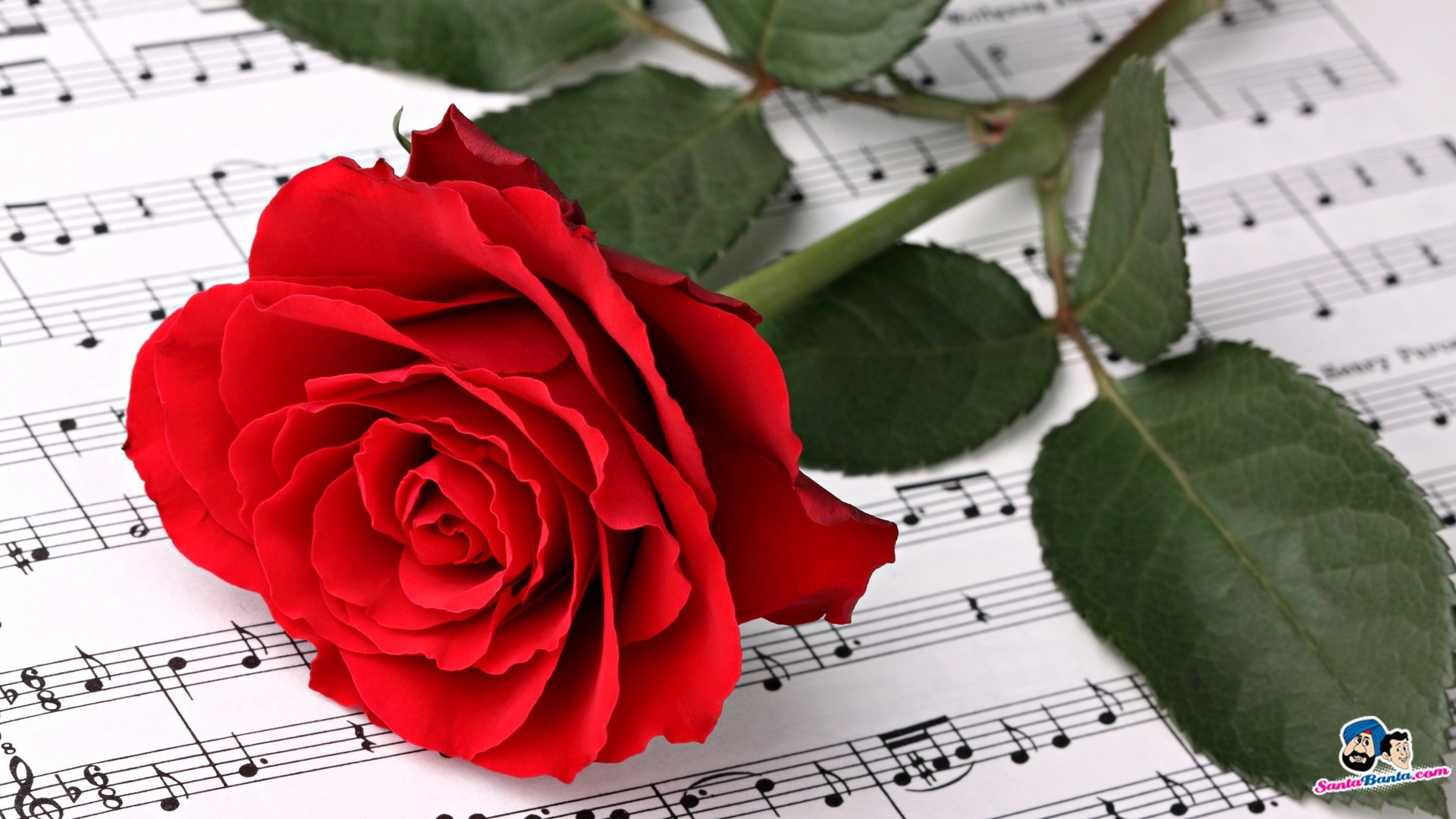Roses Love Valentine Red Rose Flower Wallpapers Free - Red Rose Single Pic Hd - HD Wallpaper