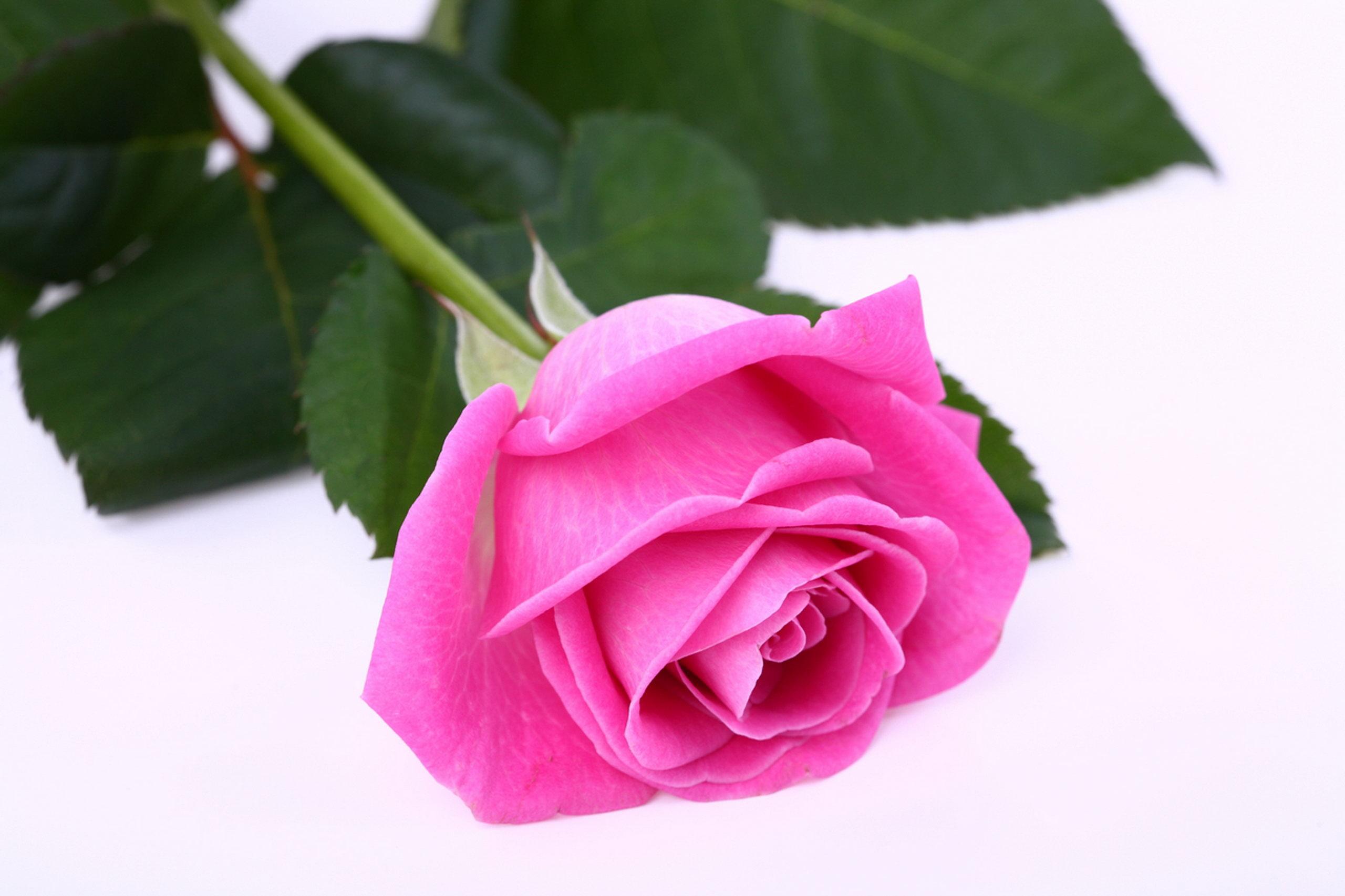 Pink Rose Wallpapers Hd Beautiful Rose Photo Download 2560x1706 Wallpaper Teahub Io