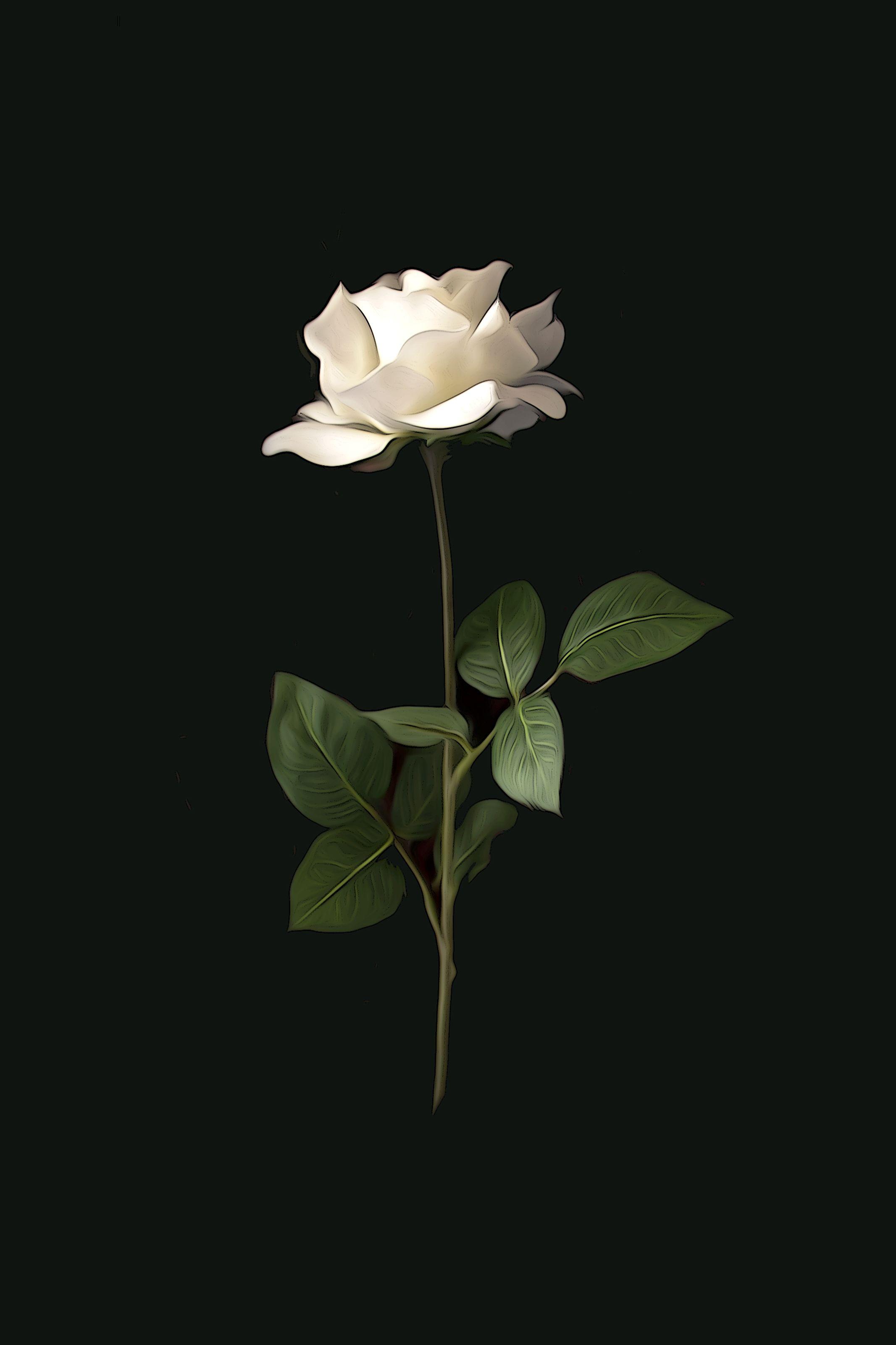 Aesthetic Wallpaper White Rose - HD Wallpaper