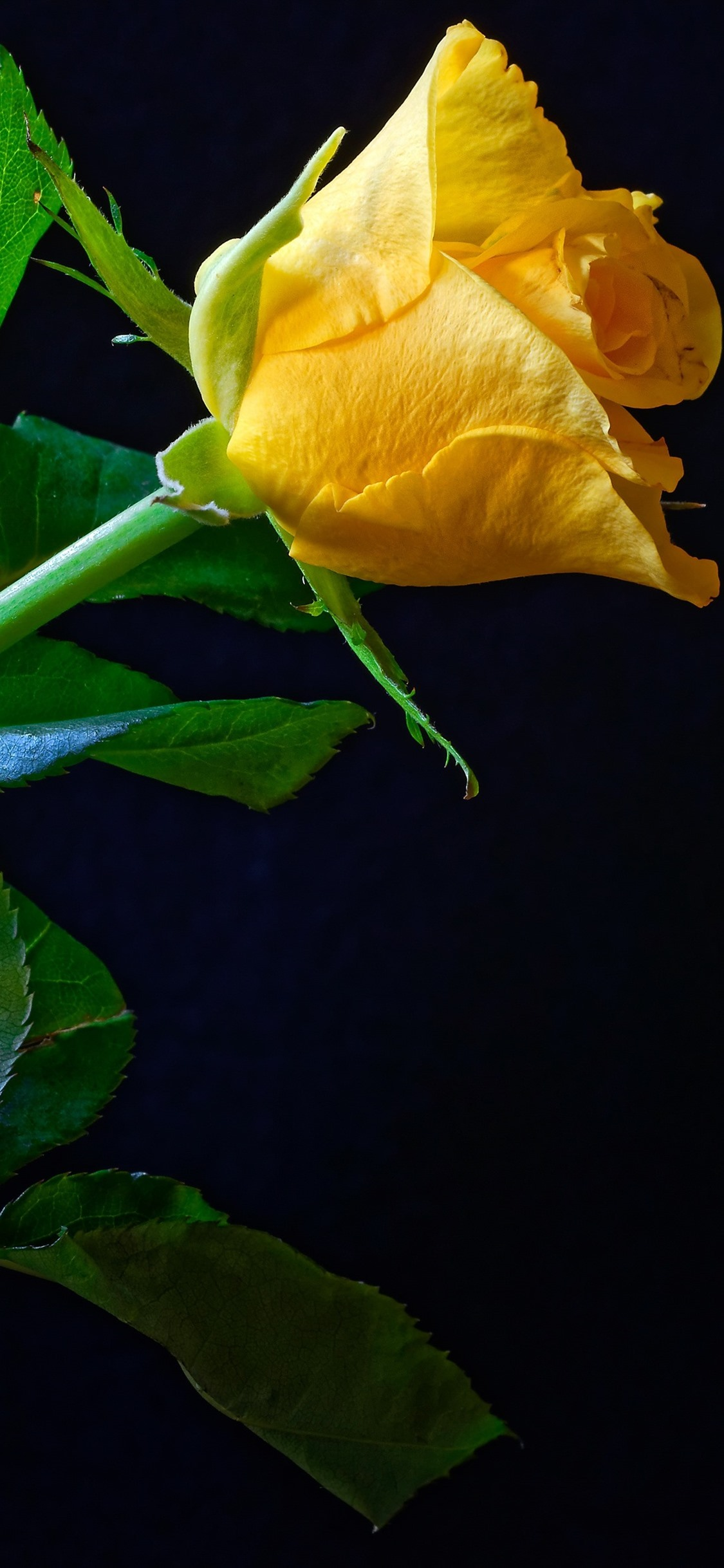 Iphone Wallpaper One Yellow Rose Green Foliage Black Yellow Rose With Black Background 1125x2436 Wallpaper Teahub Io