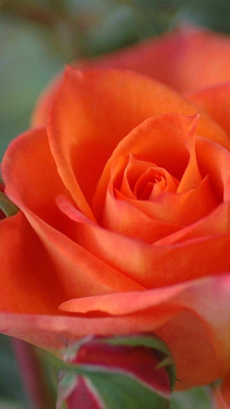 Iphone Wallpaper Orange Colour Rose Close Up Orange Colour Rose 750x1334 Wallpaper Teahub Io