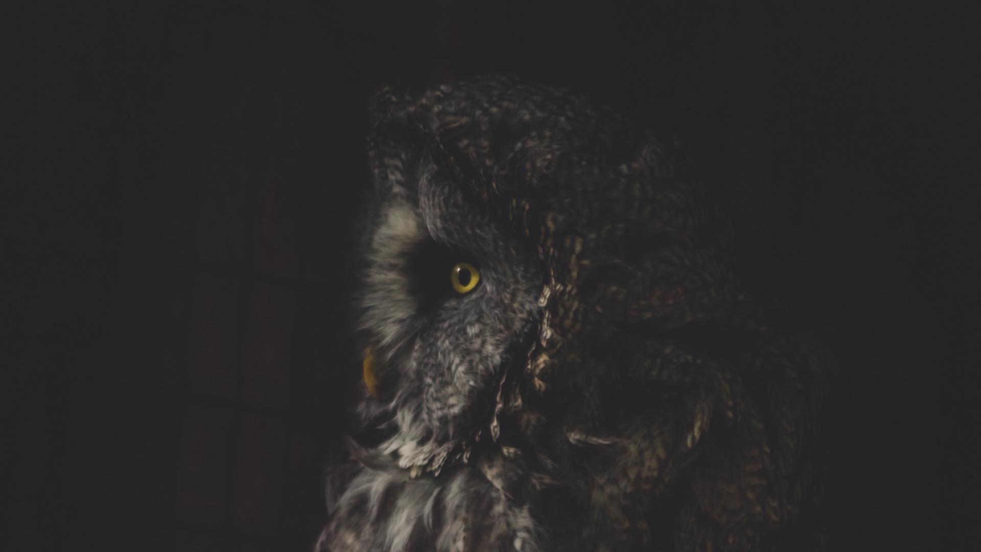 Wallpaper Owl Bird Dark Predator Looks Turned Owl Dark 1920x1080 Wallpaper Teahub Io