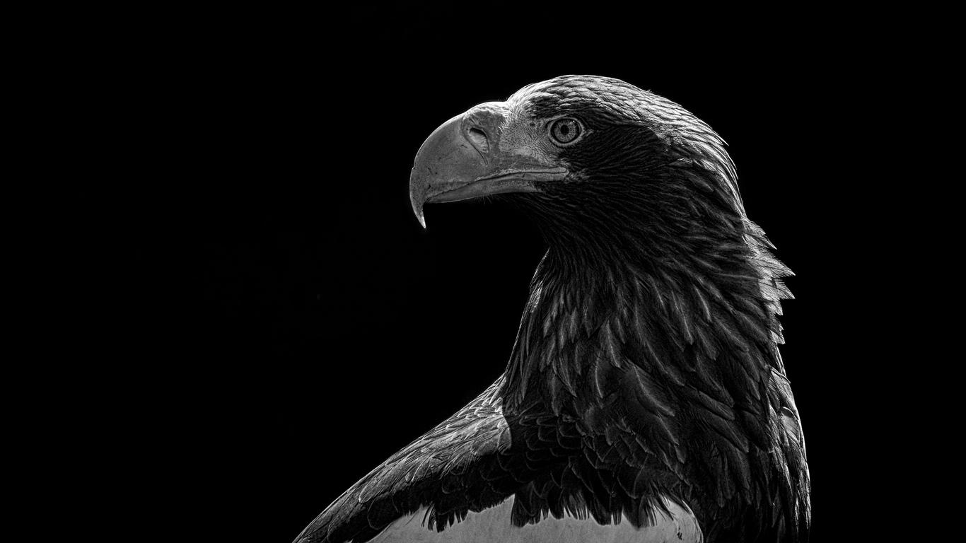Wallpaper Eagle Bird Bw Predator Iphone Wallpaper Black Eagle 1366x768 Wallpaper Teahub Io
