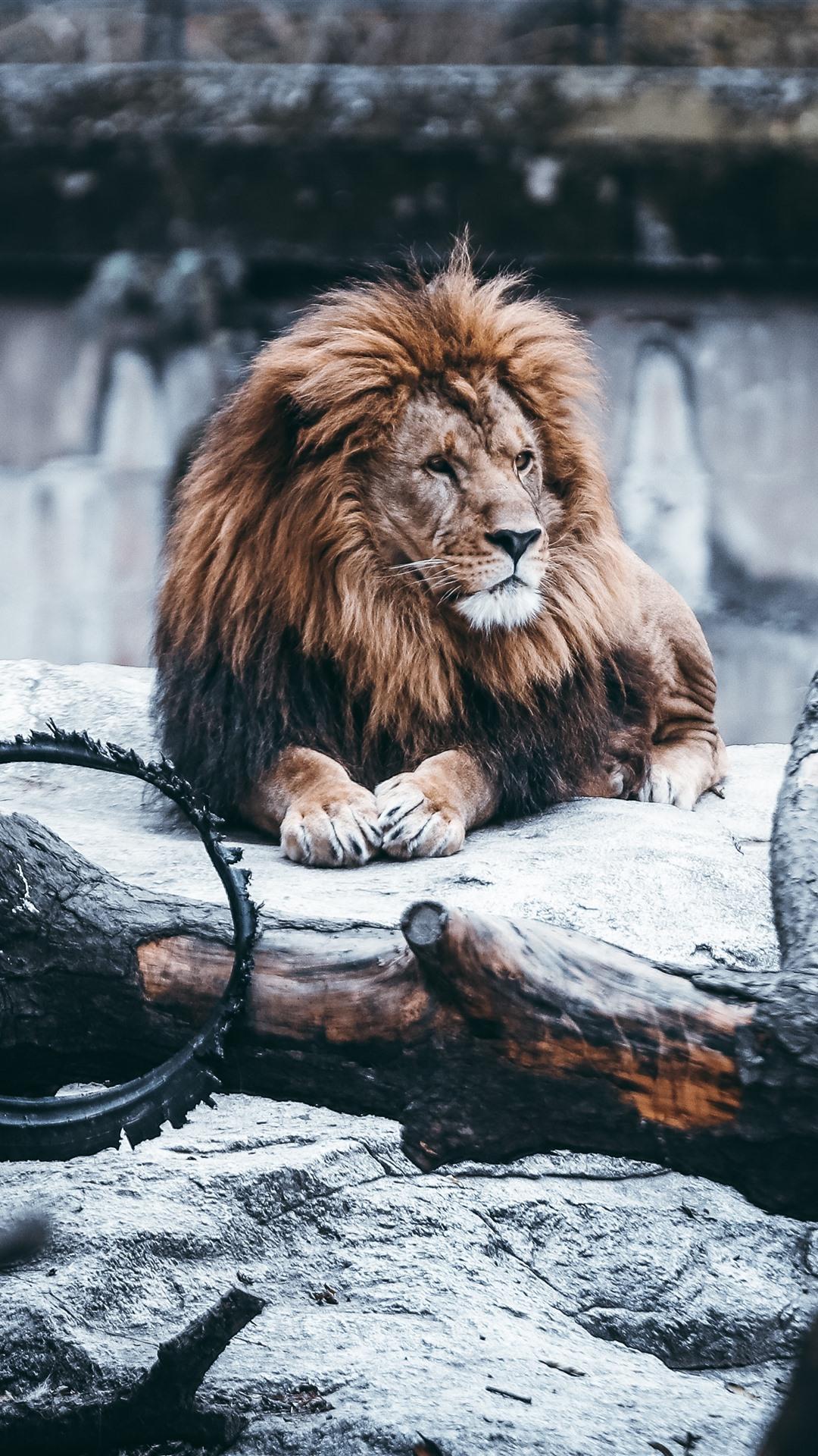 Lion Wallpaper Iphone 8 Plus 1080x1920 Wallpaper Teahub Io