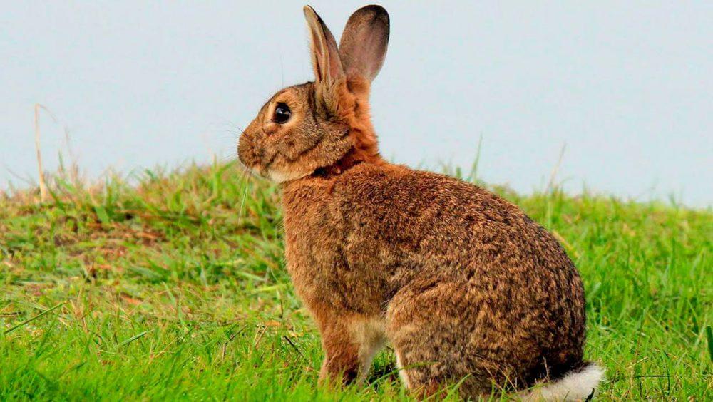 Gambar Kelinci - San Juan Rabbits - HD Wallpaper