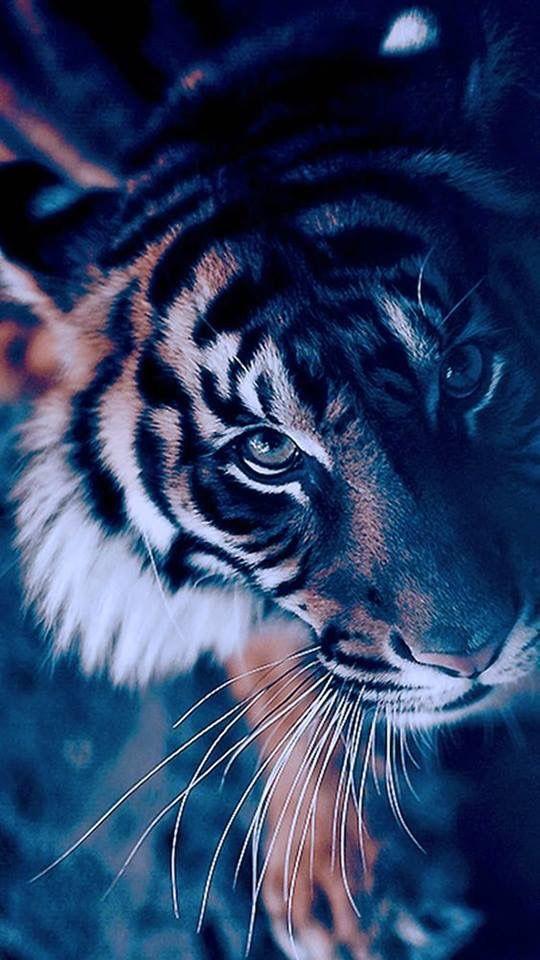 Tiger Wallpaper Iphone - HD Wallpaper