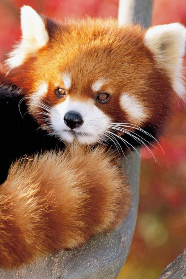 Red Panda Wallpaper Red Panda Bear Cubs 640x960 Wallpaper Teahub Io