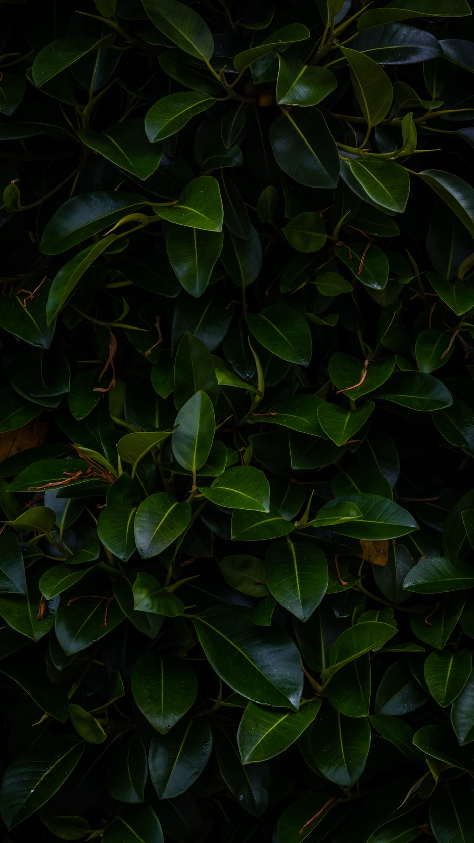Wallpaper Leaves Plant Green Dark Branches Green Leaves 4k Background 938x1668 Wallpaper Teahub Io