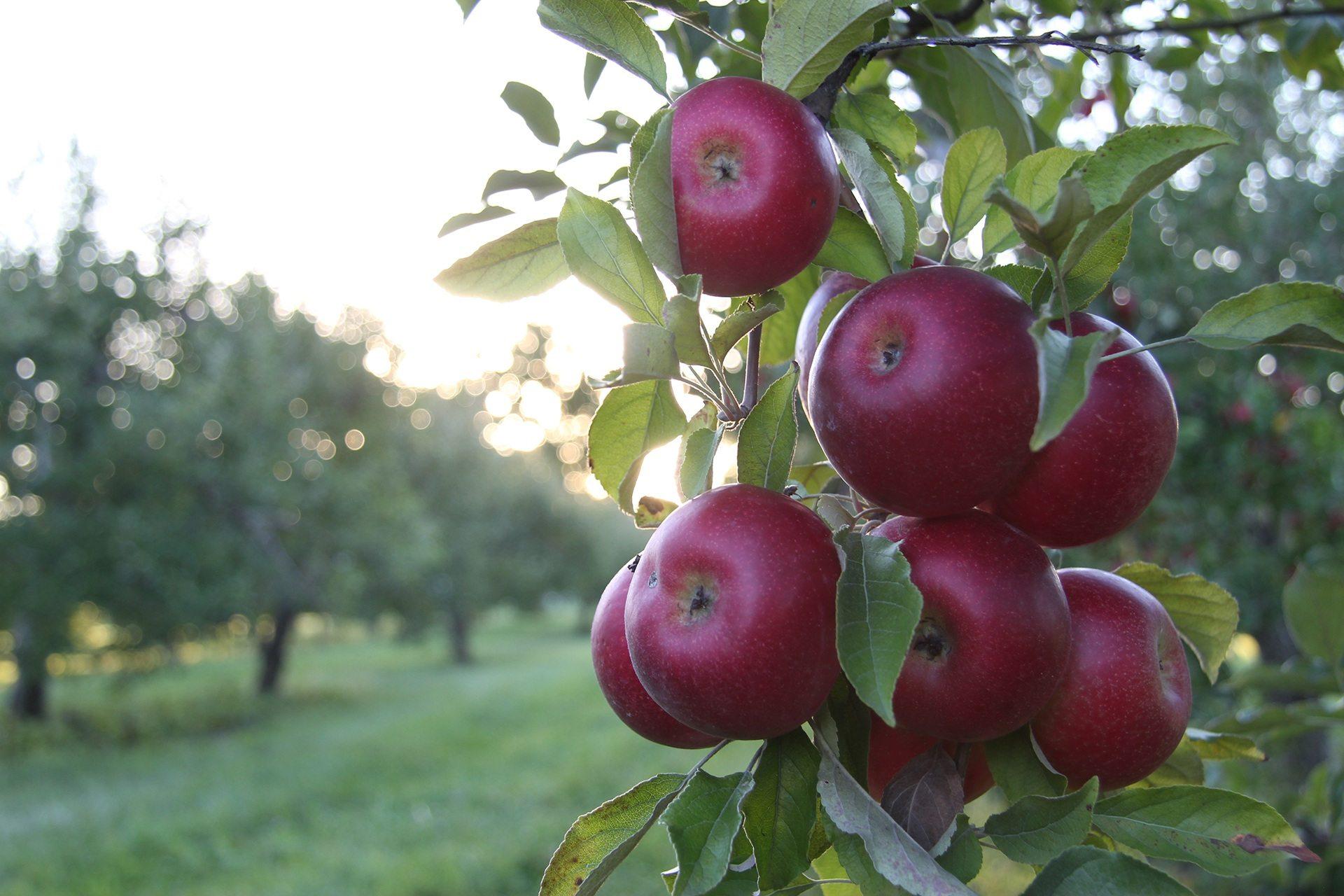 Yummy Red Apple Tree Wallpaper 1920x1280p Apple Tree 1920x1280 Wallpaper Teahub Io