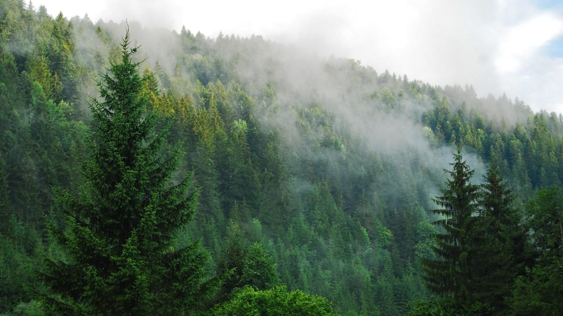 Foggy Pine Forest Wallpaper Downloads - Pine Forest Wallpaper 4k - HD Wallpaper