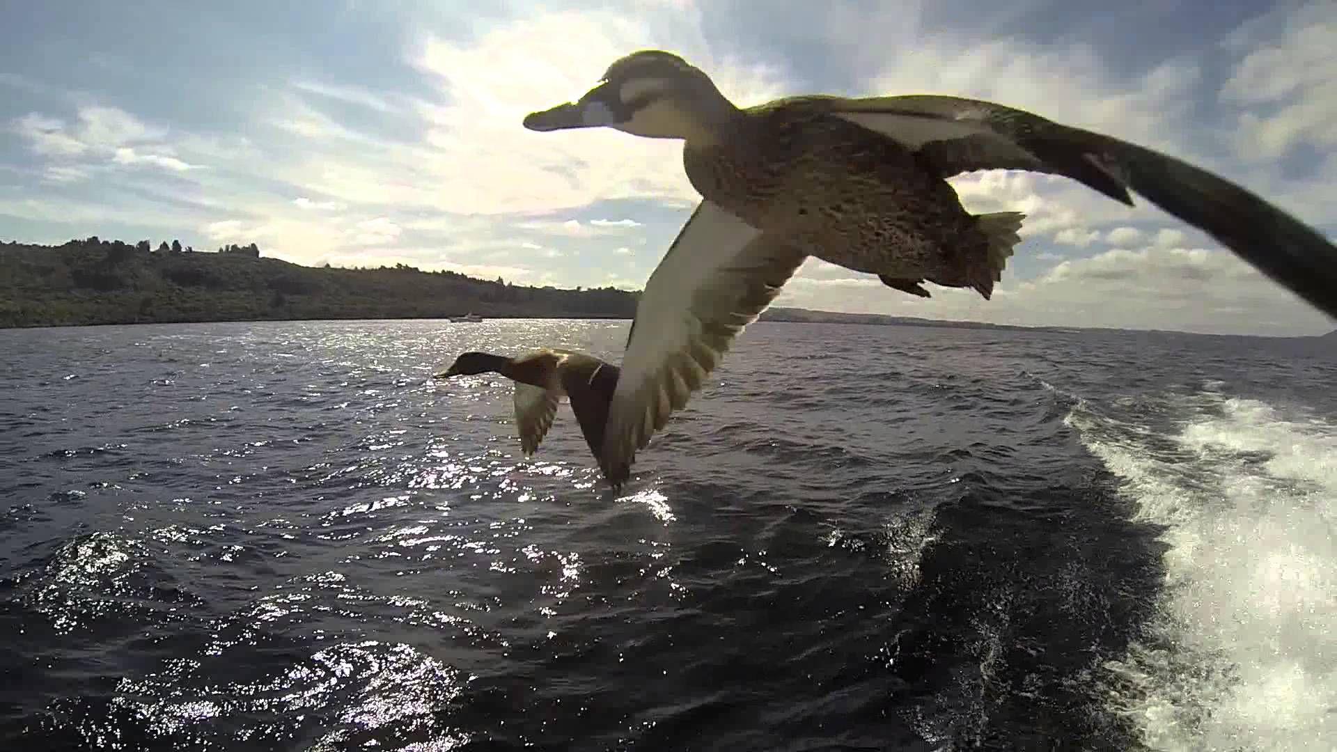 Ducks Flying - HD Wallpaper