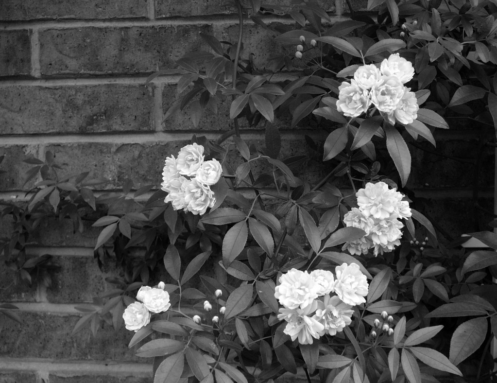 Real Black Flowers 10 Desktop Wallpaper Real Black And White Flowers 1023x788 Wallpaper Teahub Io