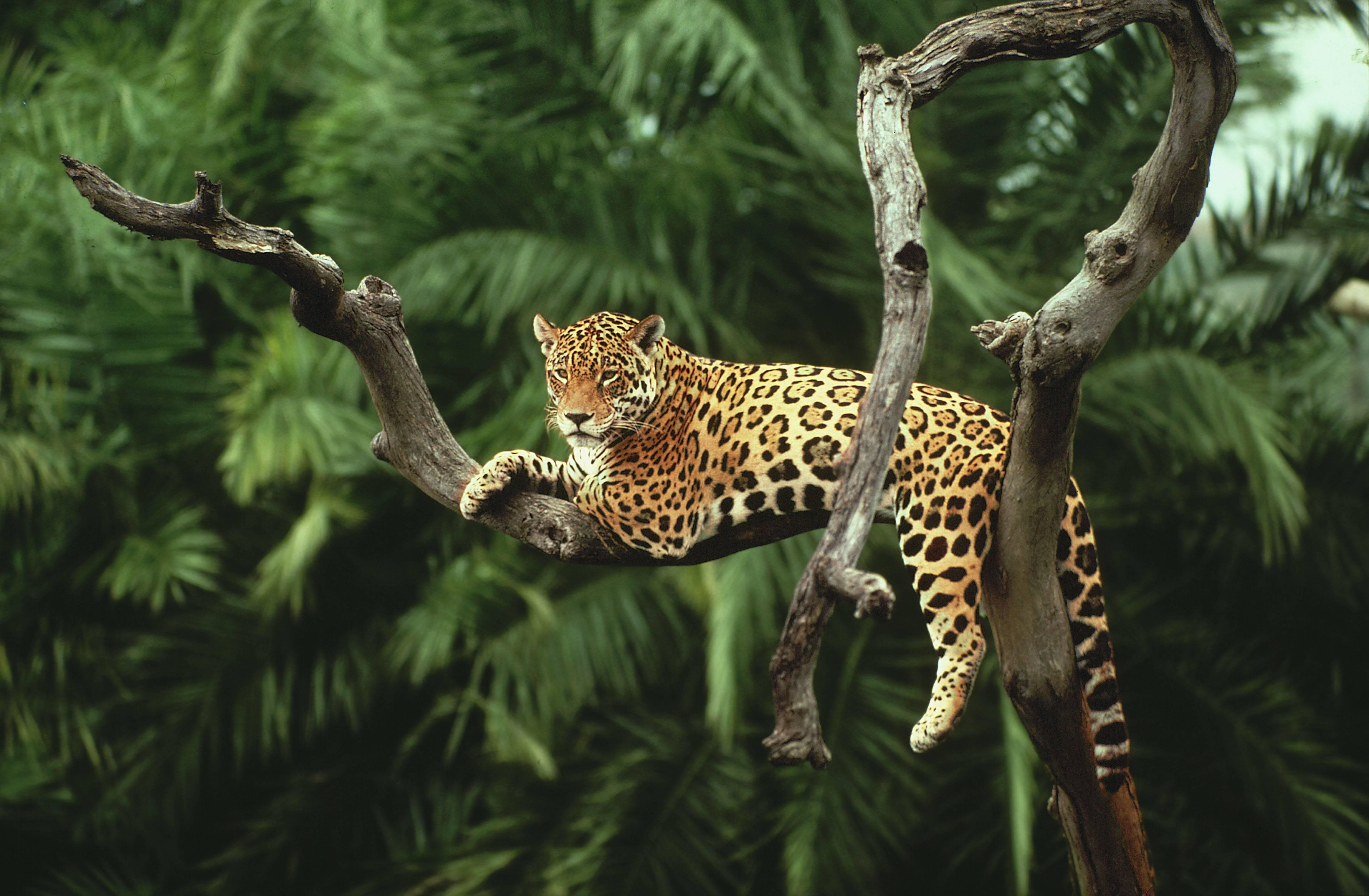 Jaguar Wallpaper Pc Jaguar Pictures Ll Rainforest Animals 4648x3042 Wallpaper Teahub Io