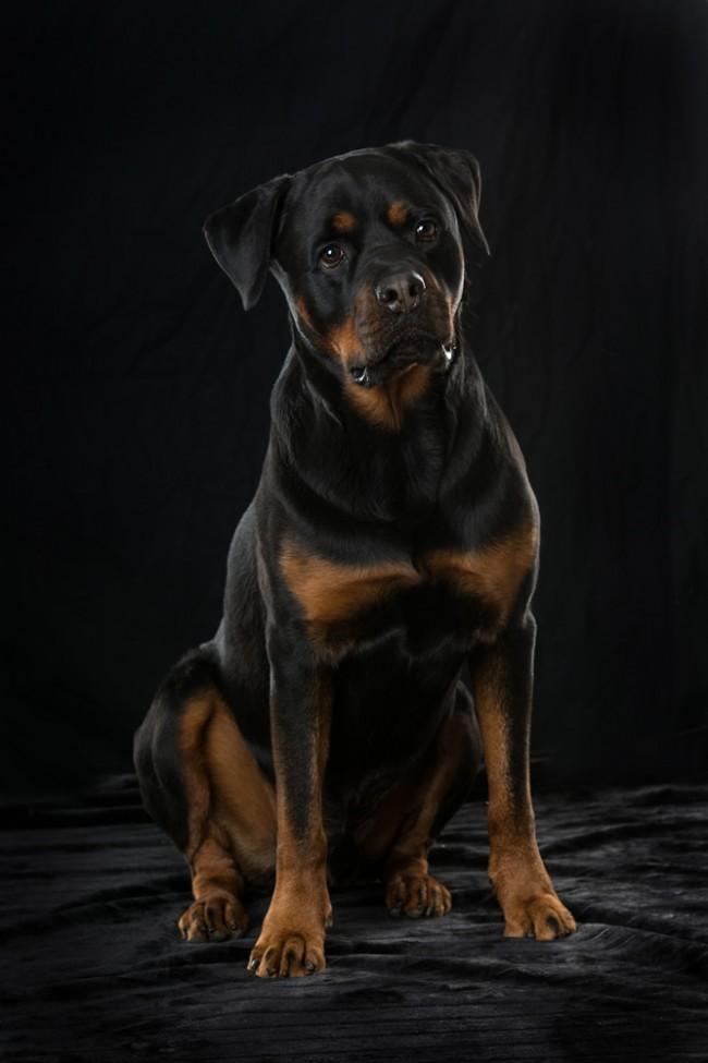 Rottweiler Dog 650x975 Wallpaper Teahub Io