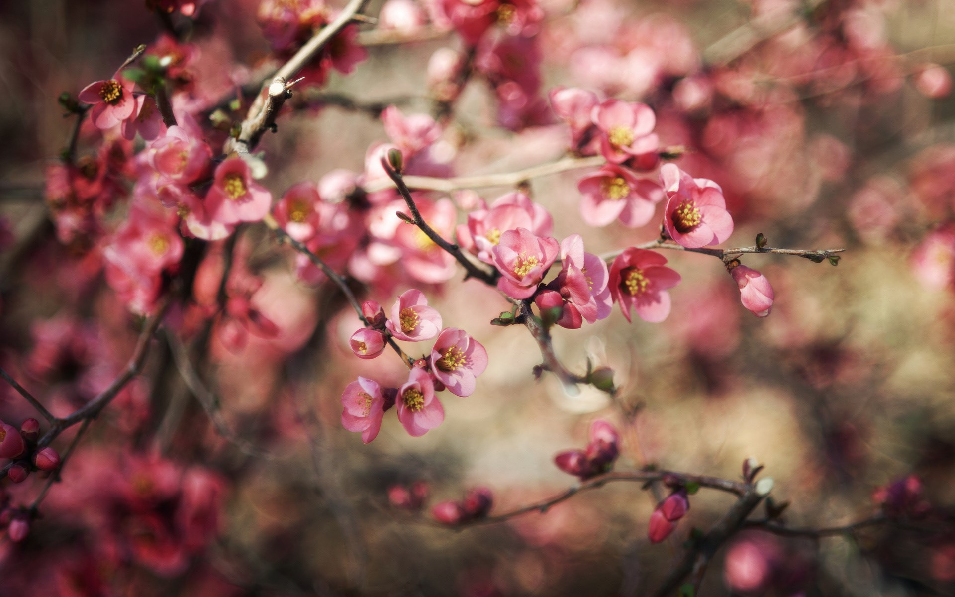 Free Spring Wallpaper Hd For Desktop - Full Hd Nature Pink - HD Wallpaper