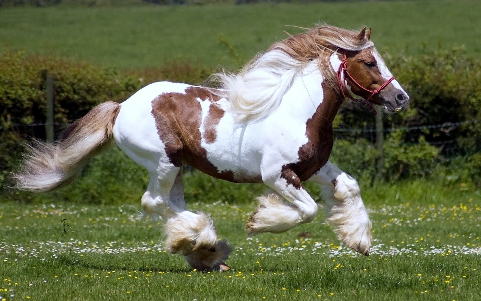 Fast Running Horse White And Brown Horse Running 1600x1000 Wallpaper Teahub Io