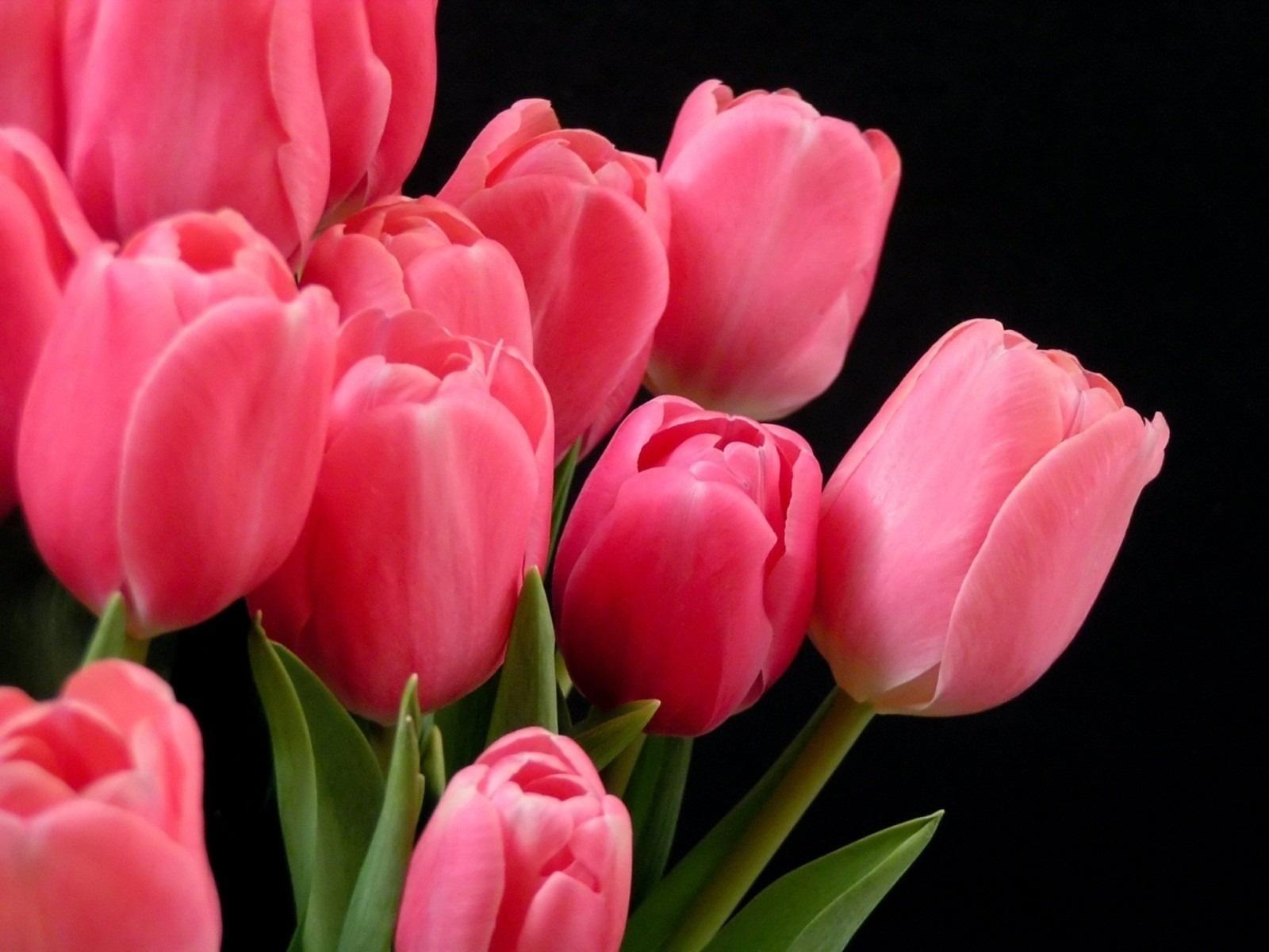 Gesneriana Wallpaper Flower Tulips Hd ...