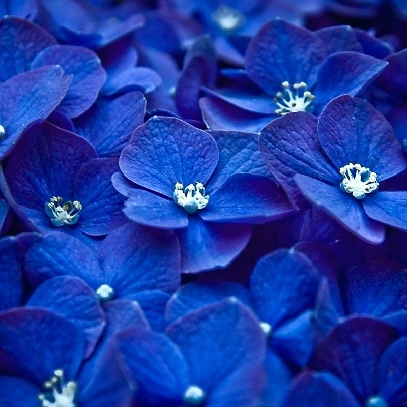 Wallpaper For Phone Flowers Top Dark Blue Flower Wallpaper - Blue Flowers Wallpaper For Mobile - HD Wallpaper