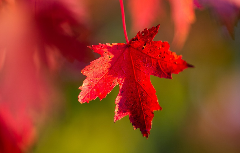 Photo Wallpaper Wallpaper Red Nature Autumn Macro Desktop Backgrounds Autumn Wallpaper 4k 1332x850 Wallpaper Teahub Io