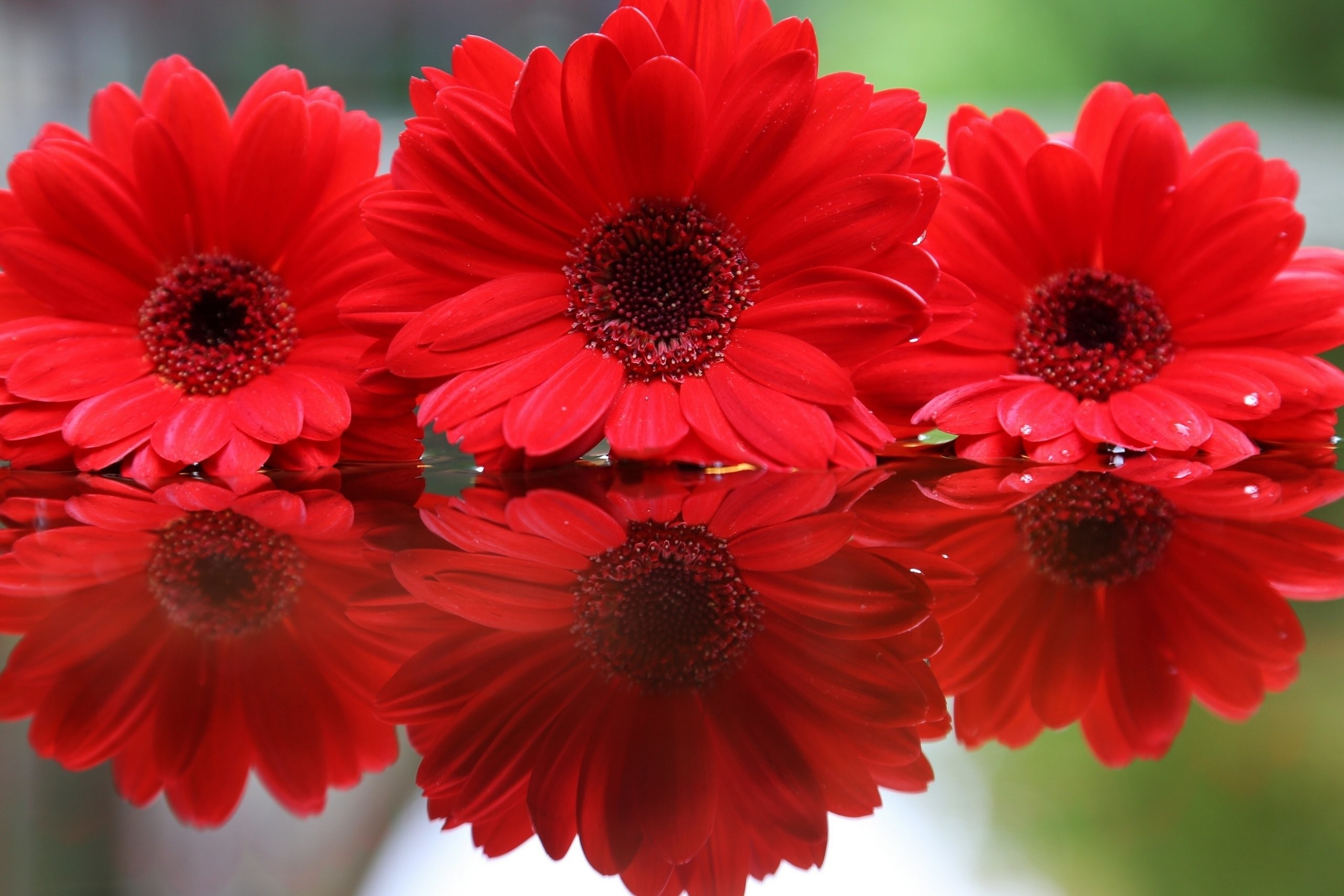 Flowers, Red, Hd Flower Wallpapers, Mobile Wallpaper,gerberas, - Flowers Images Download For Mobile - HD Wallpaper