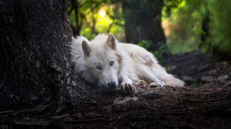 65 659387 white wolf wallpaper 4k