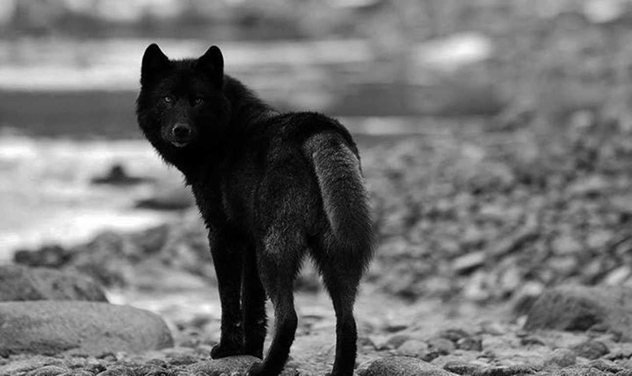 66 664846 ultra hd black wolf wallpapers