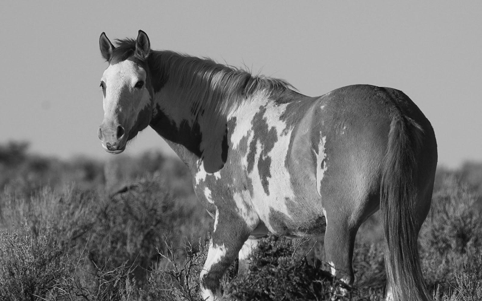 Horse Wallpapers Black And White 1600x1000 Wallpaper Teahub Io