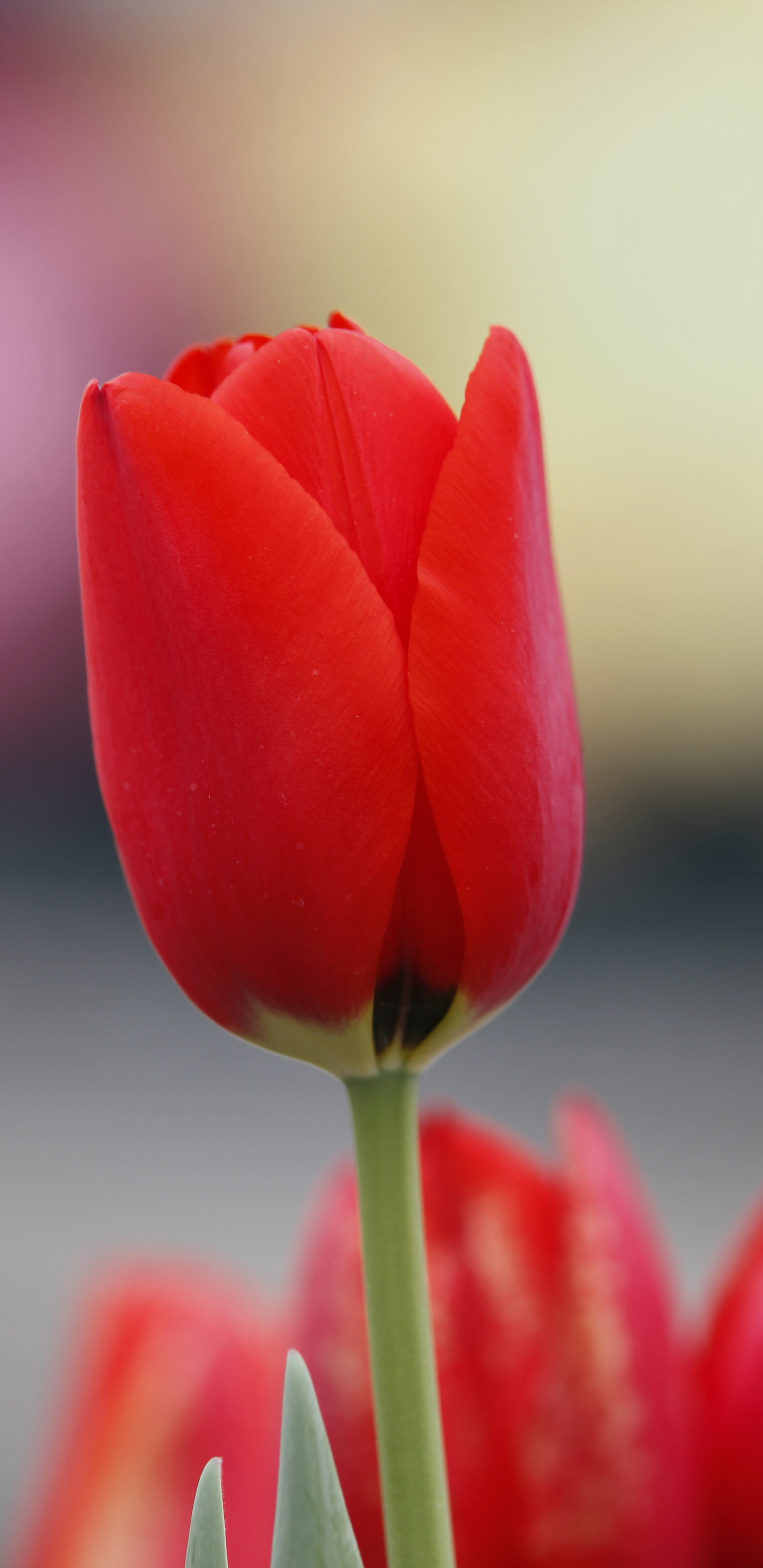Red Tulip Flowers Bud Wallpaper Flower Samsung Galaxy S8 Wallpaper Hd 1440x2960 Wallpaper Teahub Io