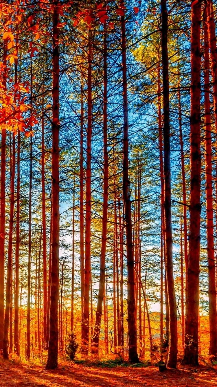 Autumn Forest Tall Trees Iphonewallpaper Ipod Wallpaper Iphone 5 Wallpaper Forest 750x1334 Wallpaper Teahub Io