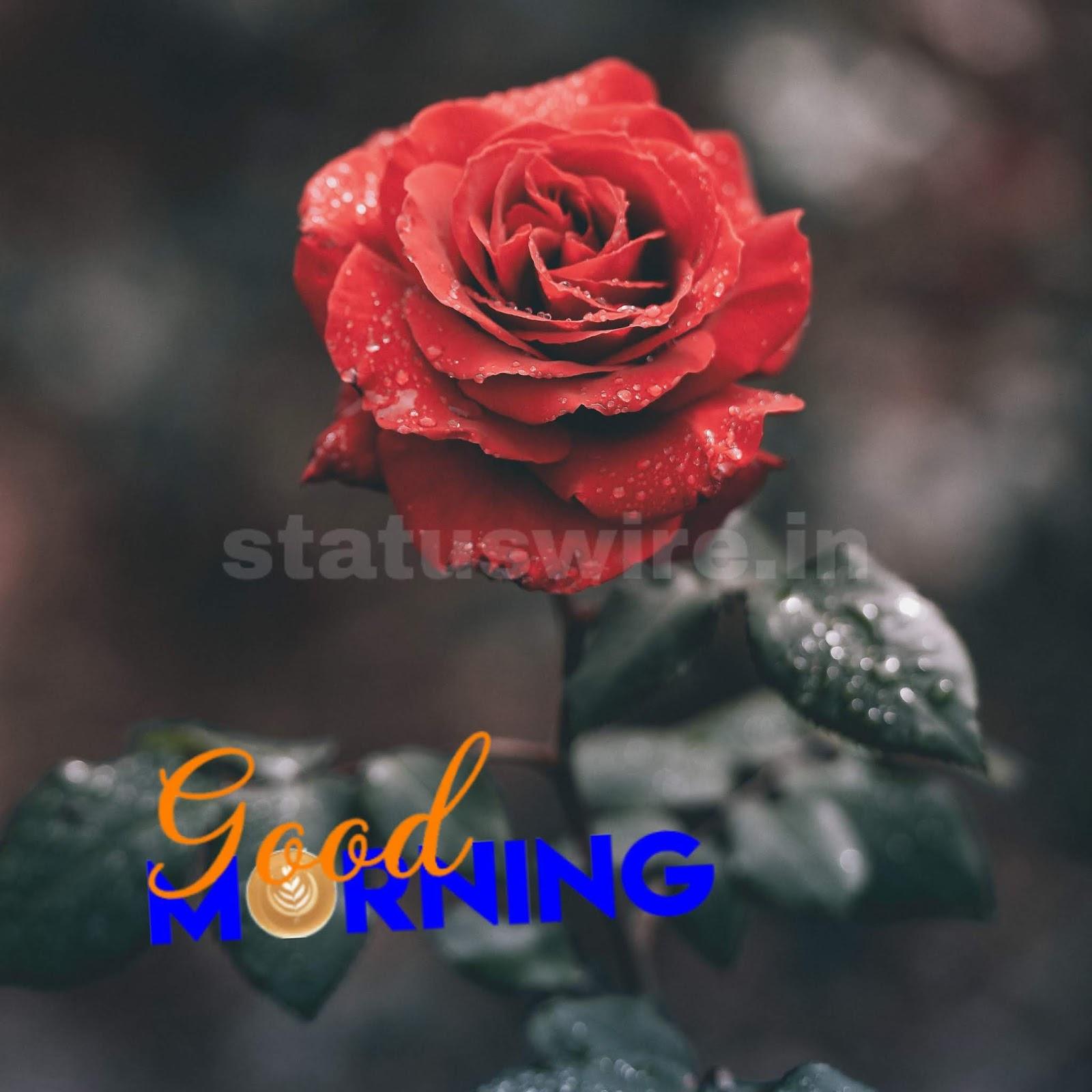 Good Morning Red Rose Hd Wallpaper - Insta Dp Of Flowers - HD Wallpaper