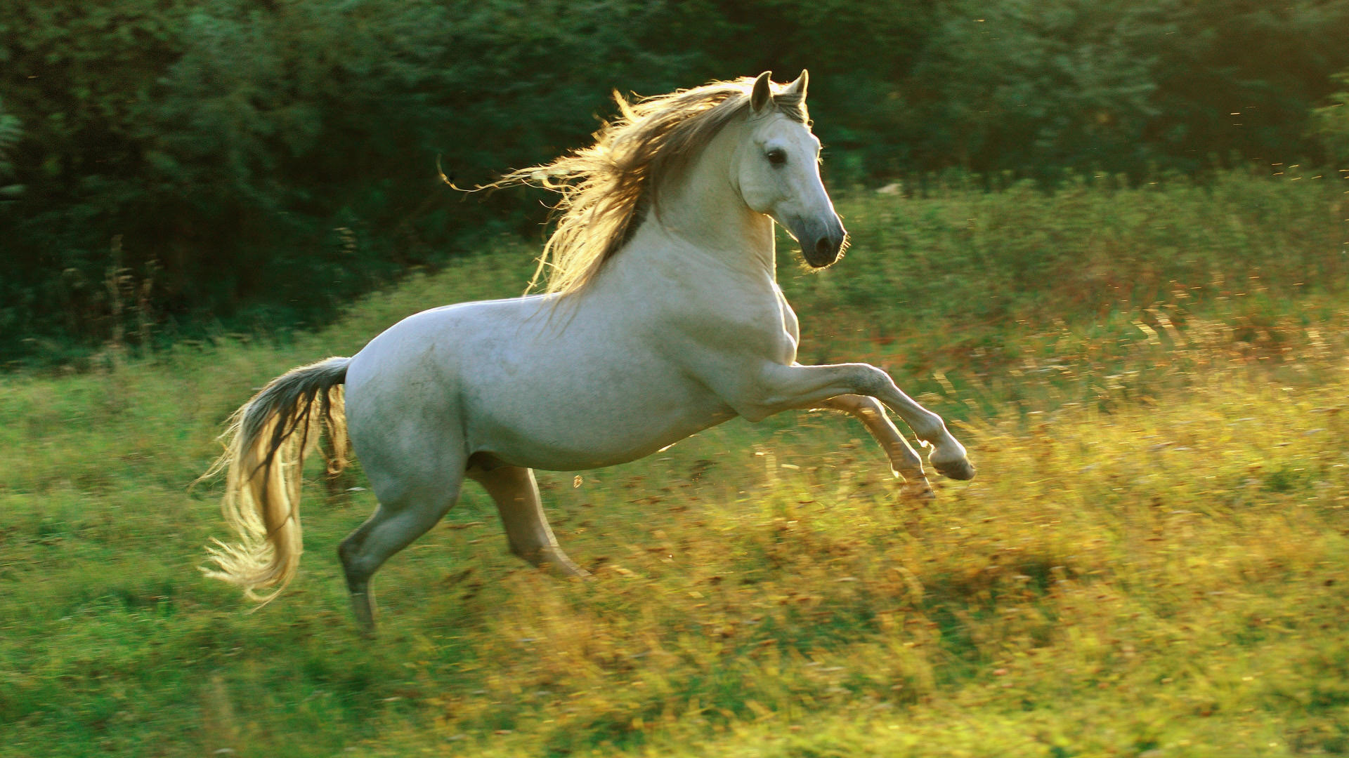 White Horse Full Hd Wallpaper Horses Running 1920x1080 Wallpaper Teahub Io