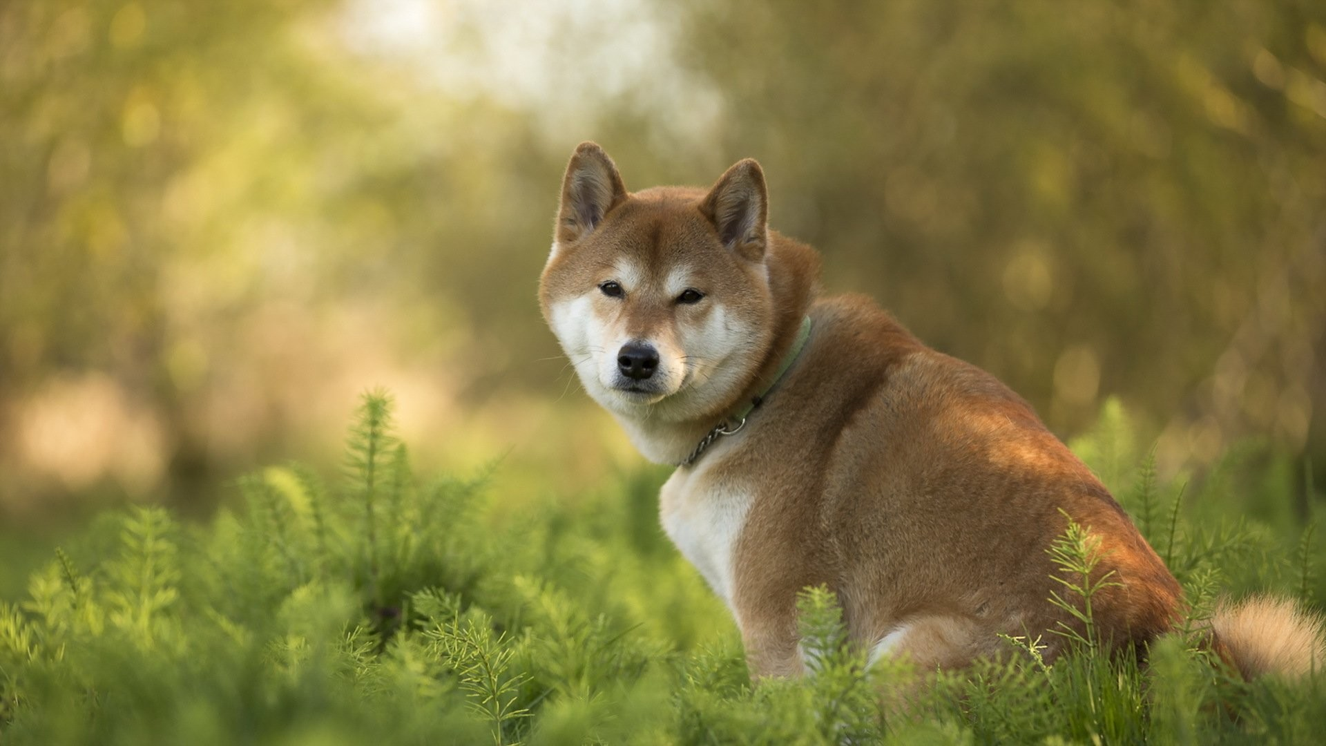 1920x1080 Hd Wallpaper Shiba Inu 1920x1080 Wallpaper Teahub Io