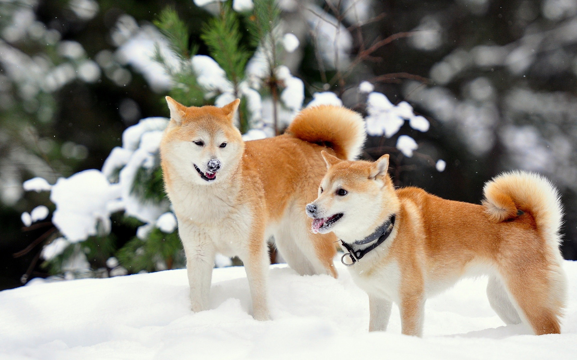 Free Download Shiba Inu Wallpaper Id Shiba Inu Winter 1920x1200 Wallpaper Teahub Io