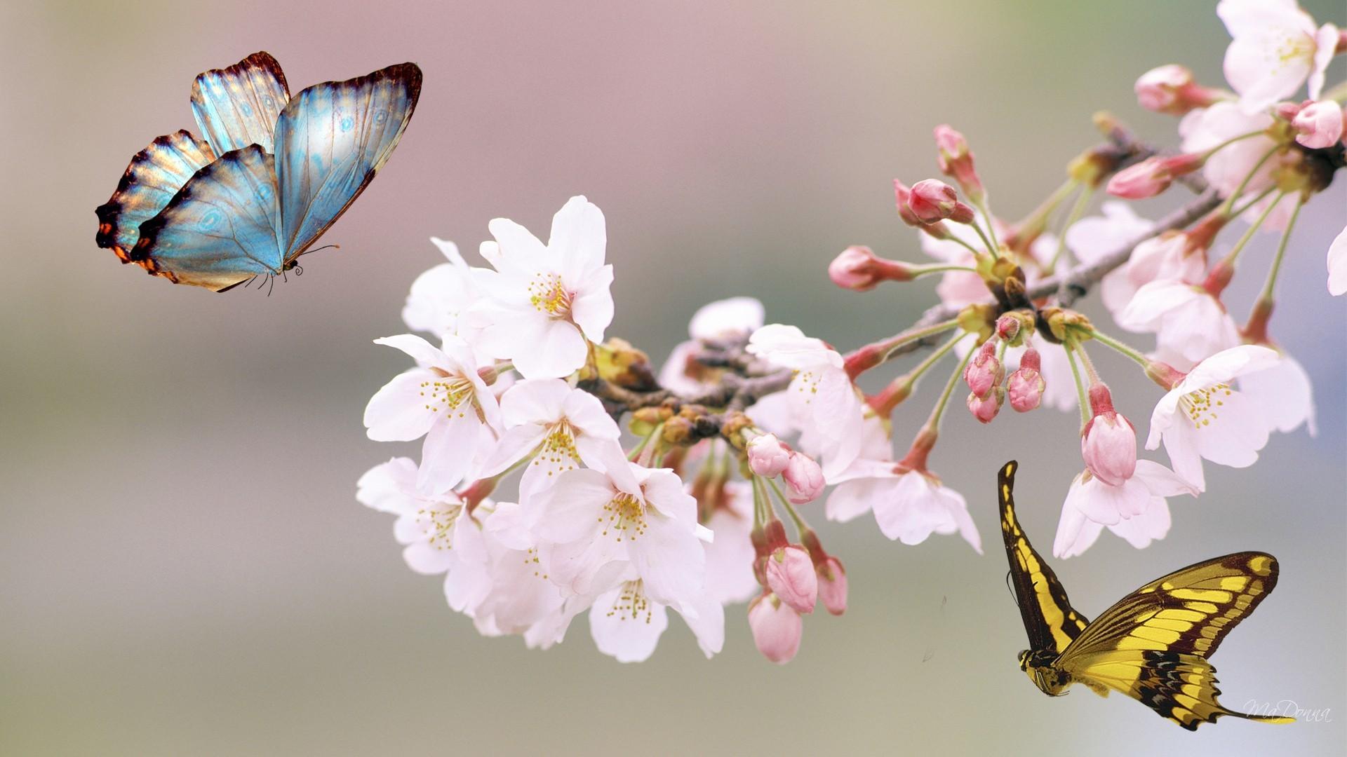 Sakura Tree Butterfly Flowers Japan Summer Free Hd - Cherry Blossoms And Butterflies - HD Wallpaper