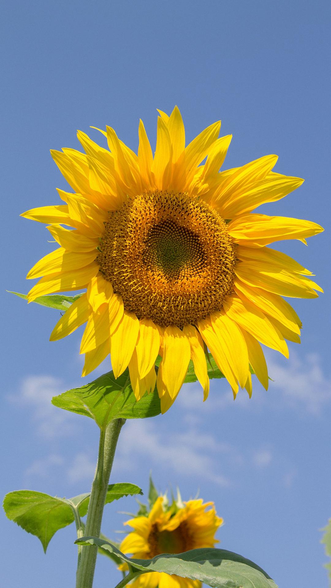 Nice Sunflower Iphone 6 Wallpapers Hd - Iphone 7 Wallpaper ...