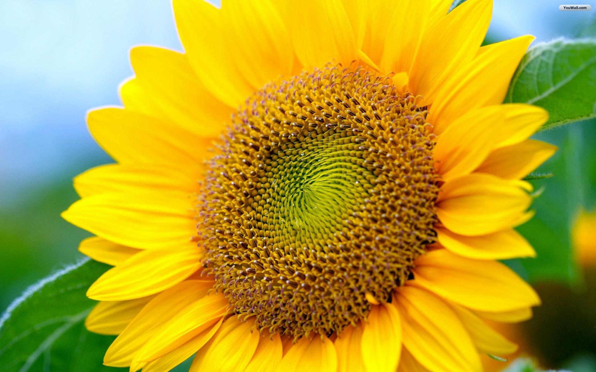 Free Sunflower Wallpaper   Bunga Matahari Full Hd   20x20 ...