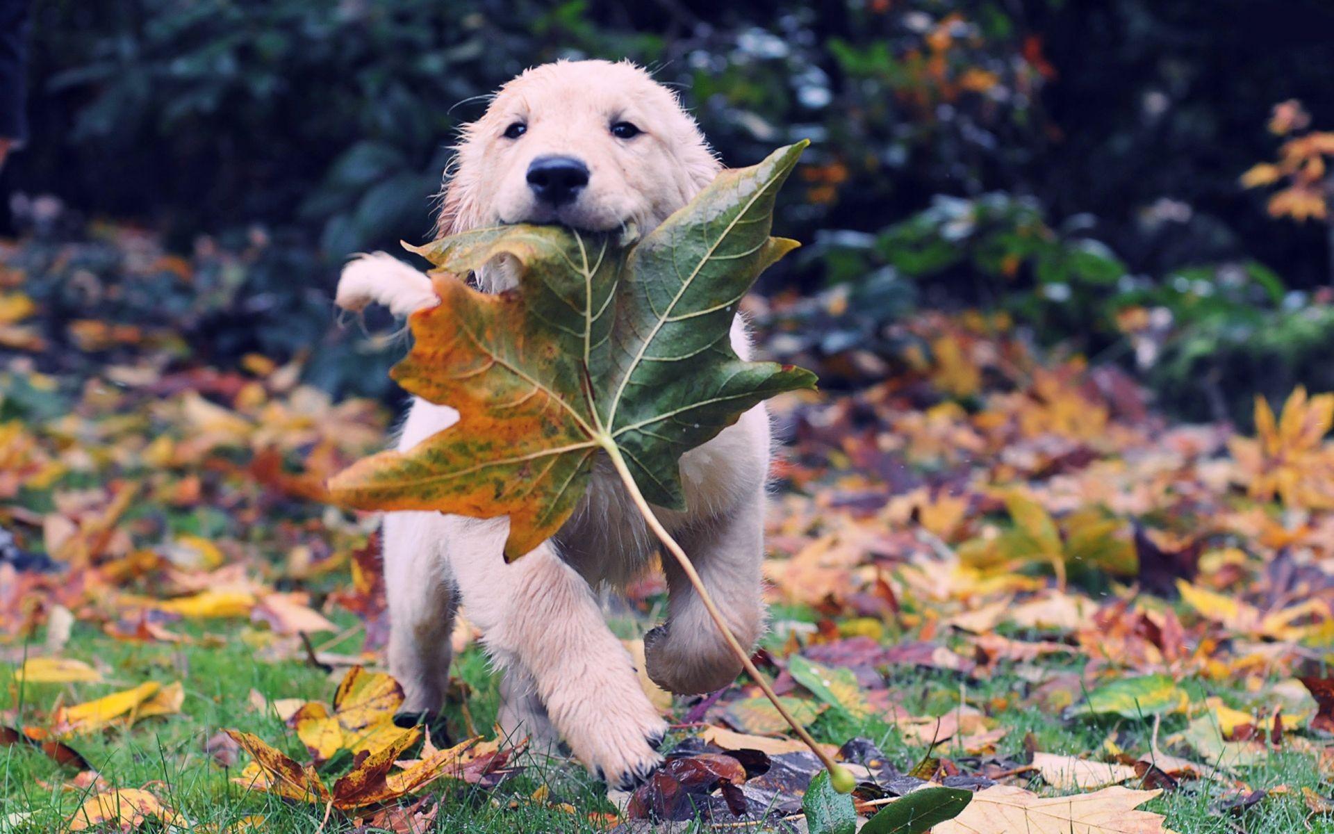 Cute, Labrador, Dog, Widescreen, High, Resolution, - Animal Fall Backgrounds - HD Wallpaper