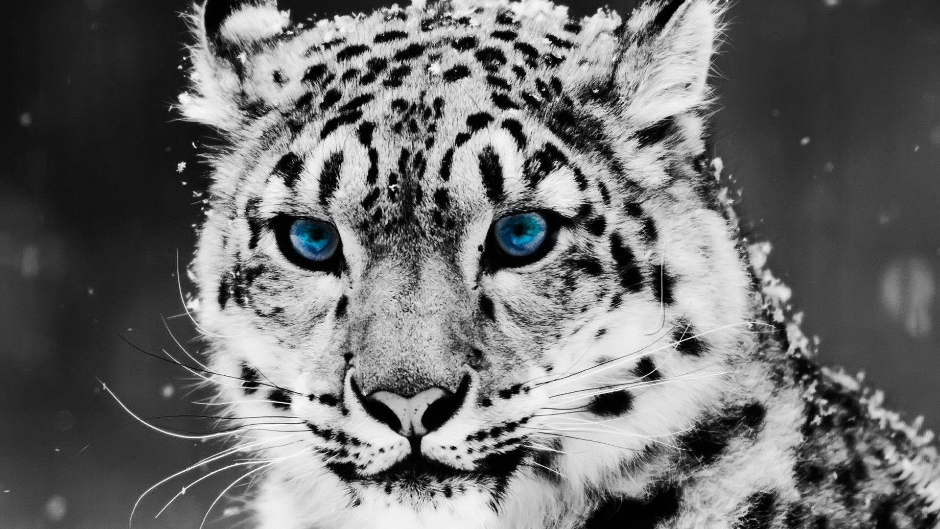 Download Animals Snow Leopard Wallpapers - Animal Backgrounds - HD Wallpaper
